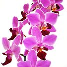 Pink Orchid III by artddicted