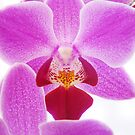 Pink Orchid IV by artddicted