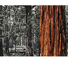 Sugar pine trunk in the woods- Tahoma Photographic Print