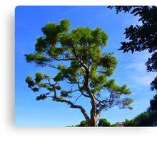Cap Ferrat Pine Canvas Print
