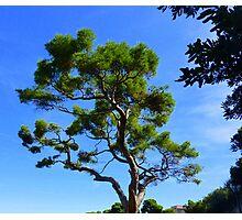 Cap Ferrat Pine Photographic Print