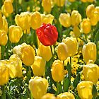 Red tulip in a field of yellow by ozscottgeorge