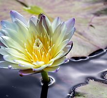 Silk Water, Lilly Flower by VisVerisIV