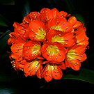 Clivia #3, Flower Show, Blackburn, Melbourne, 2013. by johnrf