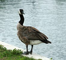 Canada Goose Standing Beside a Lake by rhamm