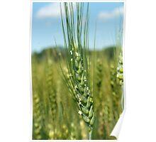 Head of Grain Poster