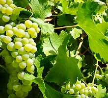Ripe chardonnay grapes Sinclair's Gully by Harvey Schiller
