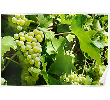 Ripe chardonnay grapes Sinclair's Gully Poster