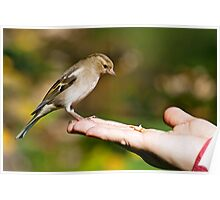 Finch eating out of hand Poster