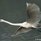 """""""The Great Egret in flight."""" by debjyotinayak"""