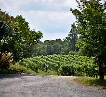 Linden Vineyards 3 by Gustavo Bernal