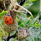 Ladybird in Dew by relayer51