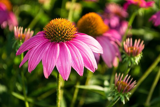 Coneflowers 2 by Photopa