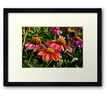 Coneflowers 3 Framed Print