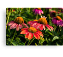 Coneflowers 3 Canvas Print