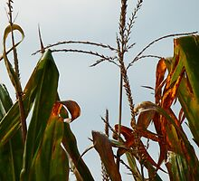 among the corn by shelli83