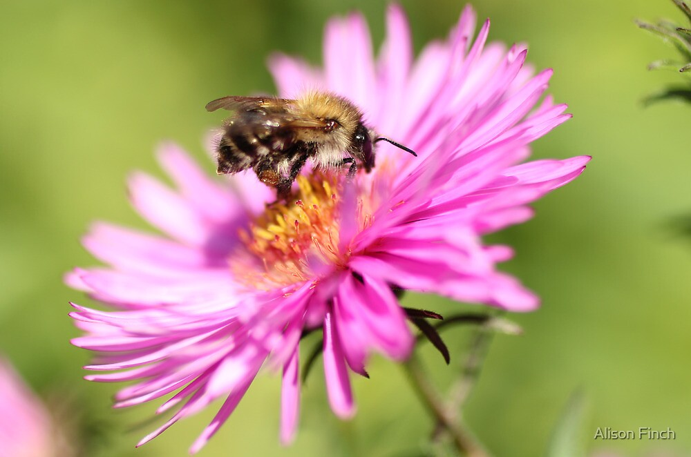 The Pink Pollinator by Alison Finch