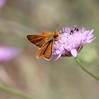 Skipper Butterfly  by hummingbirds