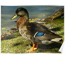 The Dabbling Duck Poster