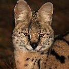 A Serval Cat by jozi1