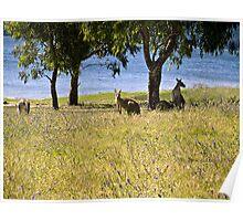 Eastern Grey kangaroos, Snowy Mountains, Australia Poster