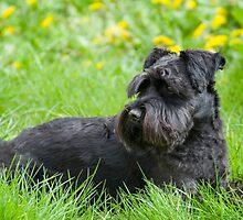 Black Miniature Schnauzer Dog by Inimma