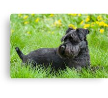 Black Miniature Schnauzer Dog Canvas Print