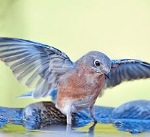 Bathing Bluebird by Bonnie T.  Barry