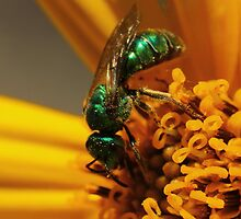 Sweat Bee on Sunflower by Kane Slater