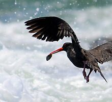 pied oystercatcher (with a pippy ) by Trish Threlfall