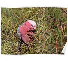Pink and Grey Galah (Eolophus roseicapillus) Poster