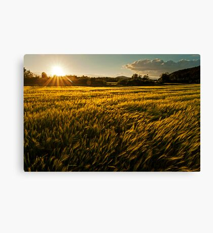 Wheat field at golden sunset Canvas Print