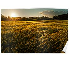 Wheat field at golden sunset Poster