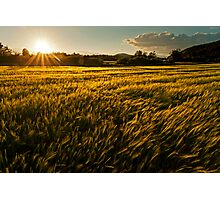 Wheat field at golden sunset Photographic Print