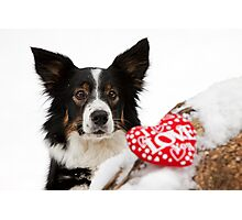 Border collie on Valentines day Photographic Print