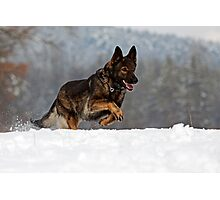 German Shepherd Working Line Photographic Print