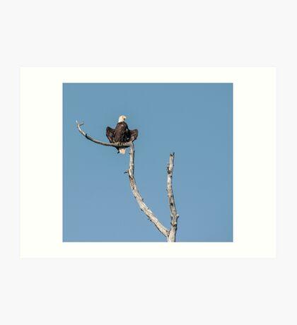 The bald eagle posing Art Print