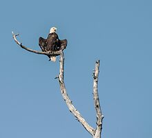 The bald eagle posing by Laurens