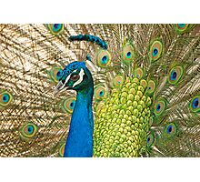 Male Peacock Photographic Print