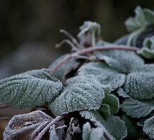 Strawberry Frost by Thomas Stayner