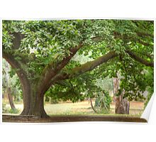 Elder Oak in the Park Poster