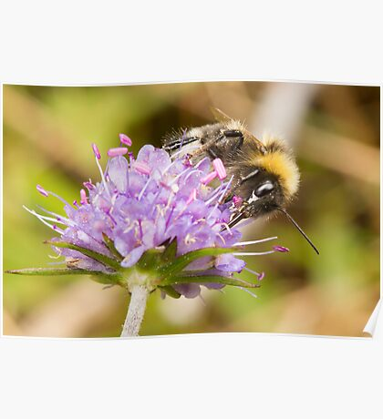 Bumble Bee on Devil's-bit Scabious Poster