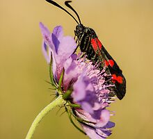 Six Spot Burnet Moth on Field Scabious by Heidi Stewart