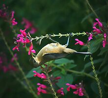 Honey Eater by Rob Chiarolli