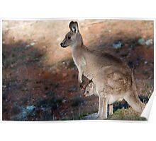 Kangaroo and joey Poster