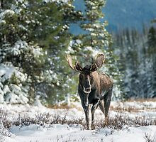 Canadian Western Bull Moose by George Wheelhouse