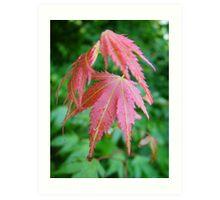 Acer leaves after rain Art Print