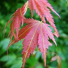 Acer leaves after rain by Emerald-Cat