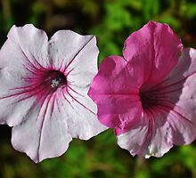 Two Tone Petunia by Eileen Brymer