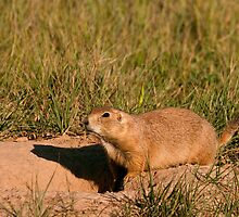 Prairie Dog on Alert by ejlinkphoto